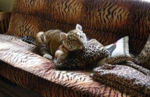 One of two baby tigers