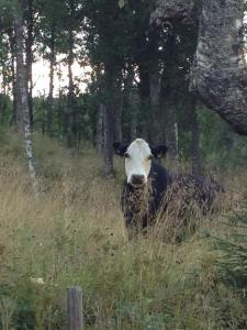 A cow in my neck of the woods, western Värmland, Sweden
